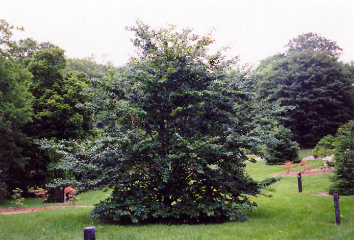 American Beech (Fagus Grandifolia) At Wallitsch Nursery And Garden Center