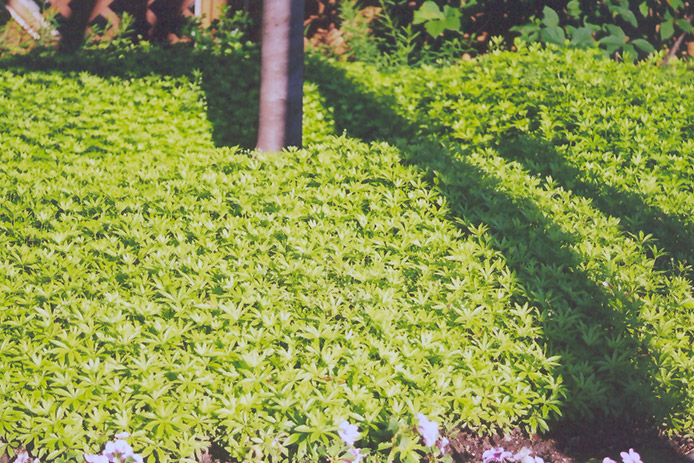 Sweet Woodruff (Galium Odoratum) At Wallitsch Nursery And Garden Center