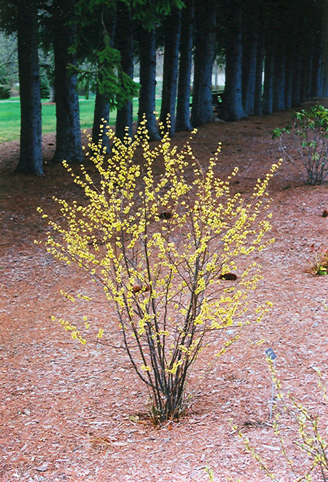 Exceptional Spicebush (Lindera Benzoin) At Wallitsch Nursery And Garden Center