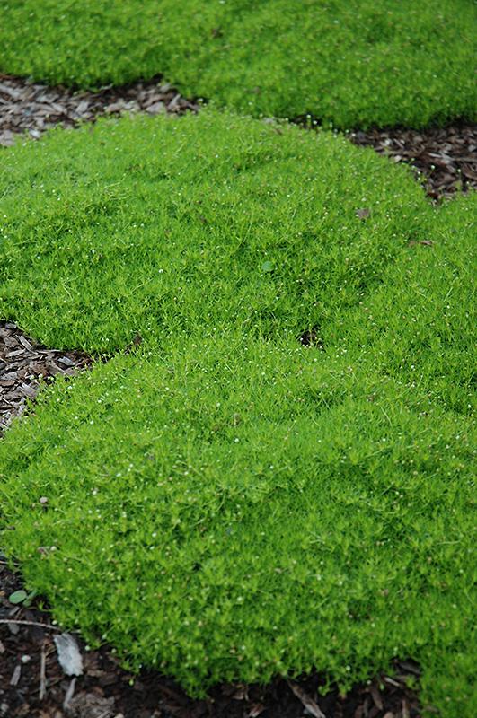 garden center louisville ky. Irish Moss Garden Center Louisville Ky R