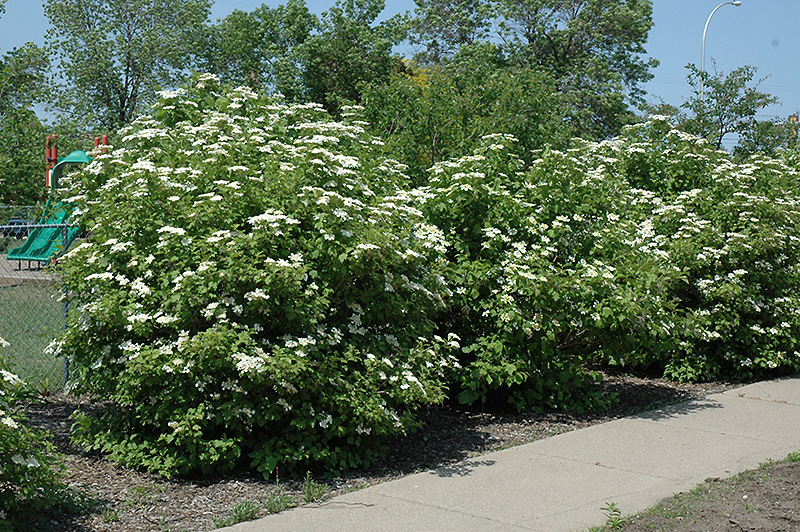 Highbush Cranberry (Viburnum Trilobum) At Wallitsch Nursery And Garden  Center