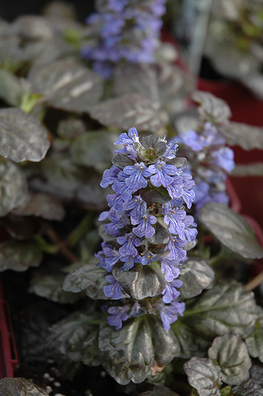 Black Scallop Bugleweed Ajuga reptans Black Scallop in