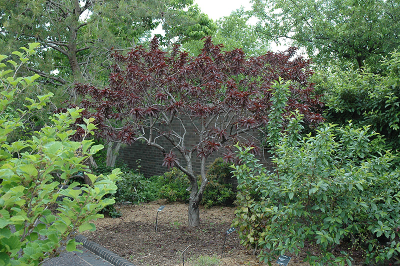 Bonfire dwarf ornamental peach prunus persica 39 bonfire for Dwarf ornamental trees for zone 4