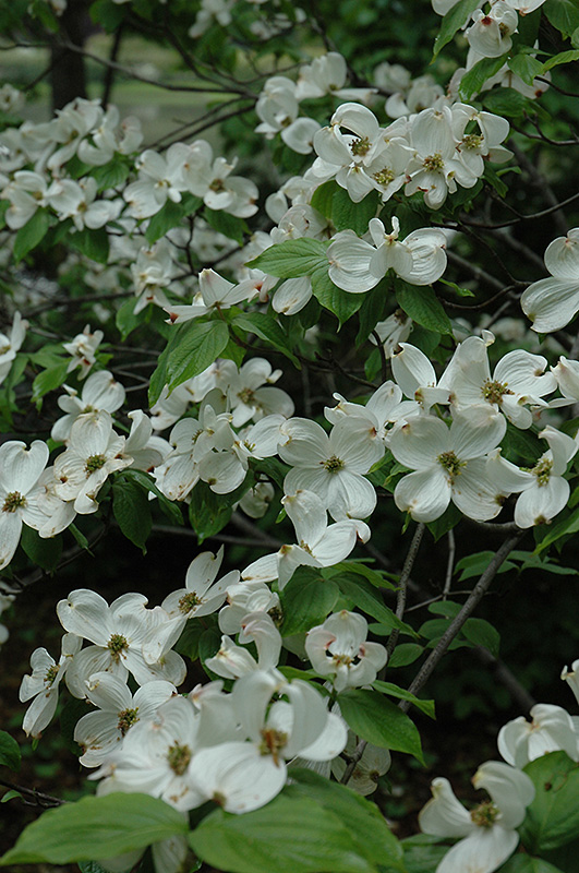 Cherokee Princess Flowering Dogwood Cornus florida Cherokee