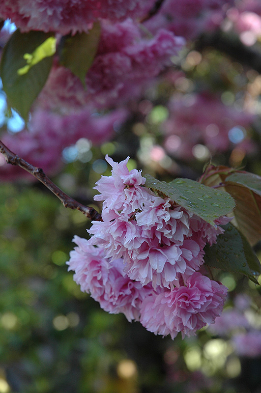 Kwanzan Flowering Cherry Prunus serrulata Kwanzan in