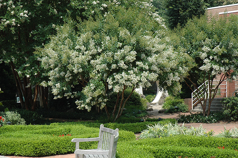 Natchez Crapemyrtle (Lagerstroemia U0027Natchezu0027) At Wallitsch Nursery And Garden  Center
