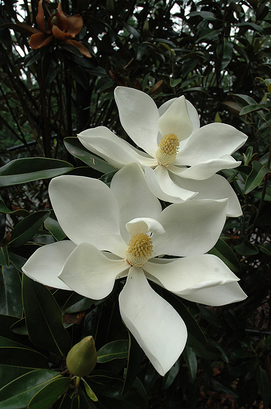 Little Gem Magnolia Magnolia grandiflora Little Gem in
