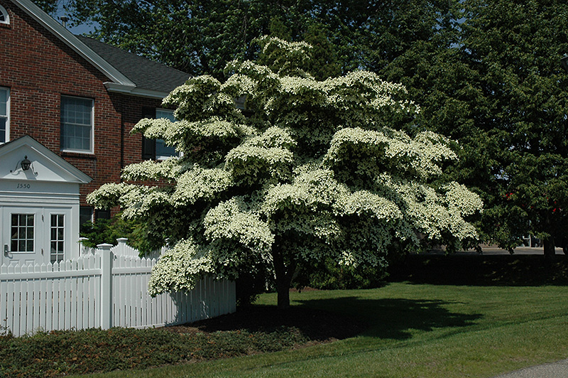 Chinese Dogwood (Cornus Kousa) At Wallitsch Nursery And Garden Center
