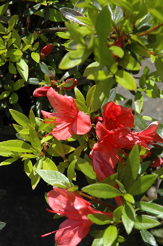 Flame Creeper Azalea (Rhododendron U0027Flame Creeperu0027) At Wallitsch Nursery  And Garden Center