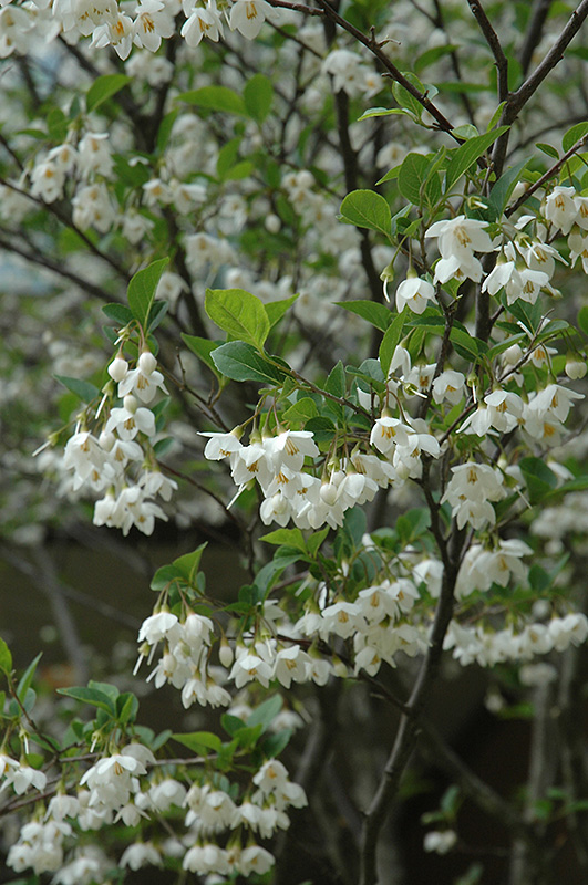 Japanese Snowbell (Styrax japonicus) in Louisville Indiana Kentucky KY at Wallitsch Nursery And ... - photo#18