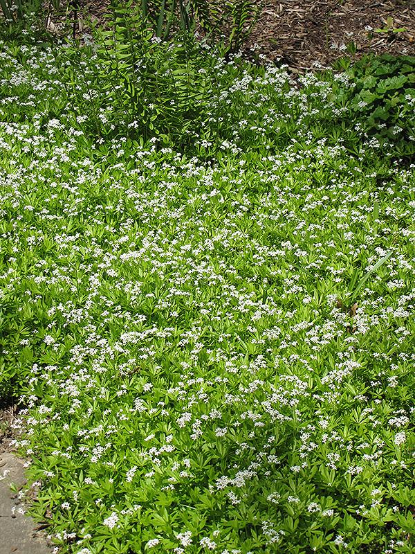 Sweet Woodruff Galium Odoratum In Louisville Indiana Cky Ky. Wallitsch Garden  Center Dirt