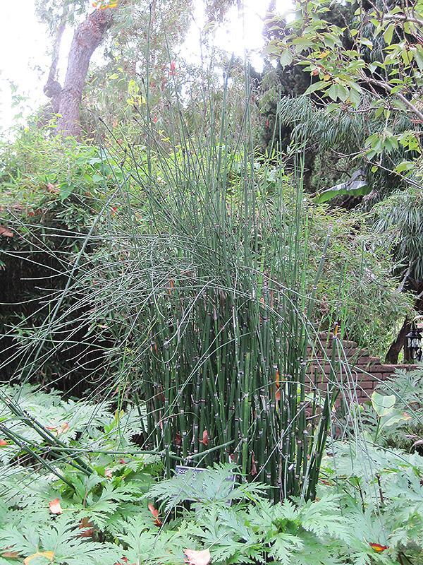 Horsetail (Equisetum Hyemale) At Wallitsch Nursery And Garden Center