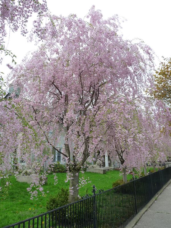 Weeping Higan Cherry Prunus Subhirtella Pendula In