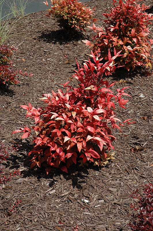 Fire Power Nandina (Nandina Domestica U0027Fire Poweru0027) At Wallitsch Nursery  And Garden