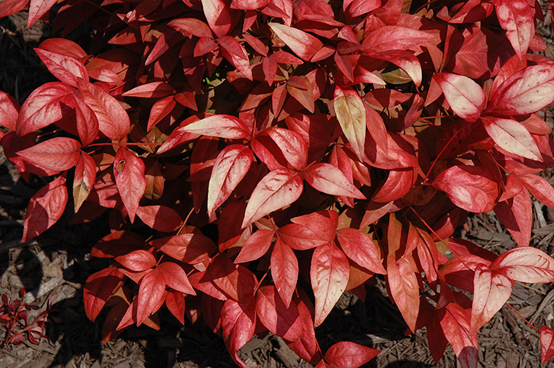 Fire Power Nandina Nandina domestica Fire Power in Louisville