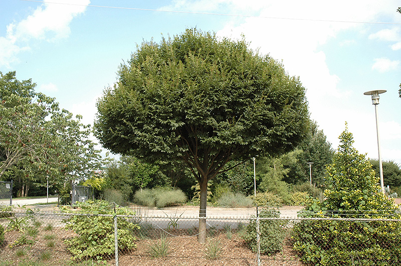 City Sprite Zelkova Zelkova Serrata Jfs Kw1 In