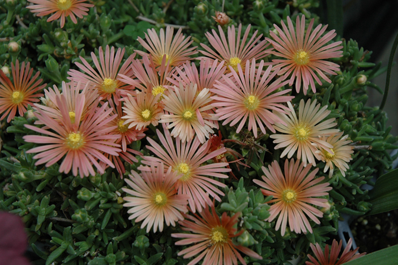Fire Spinner Ice Plant (Delosperma U0027Fire Spinneru0027) At Wallitsch Nursery And  Garden