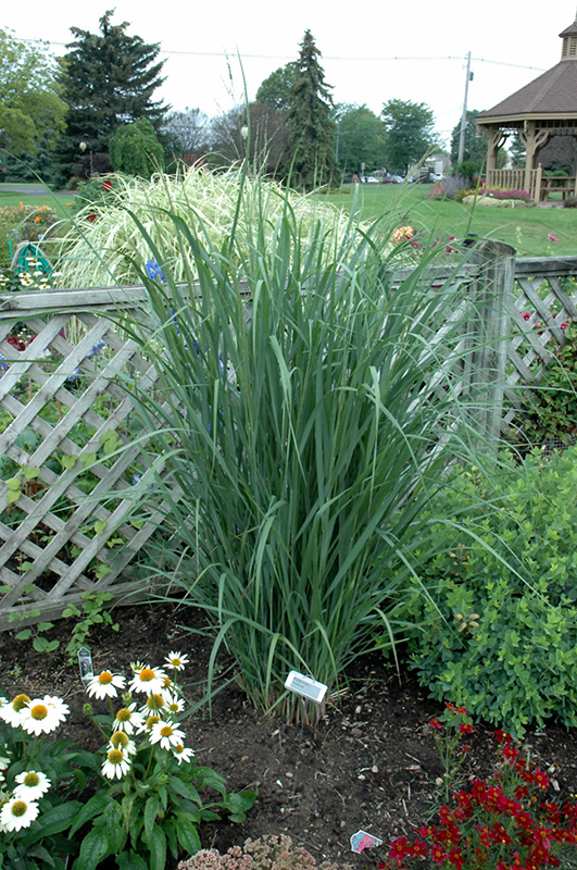 Northwind Switch Grass (Panicum Virgatum U0027Northwindu0027) At Wallitsch Nursery  And Garden Center