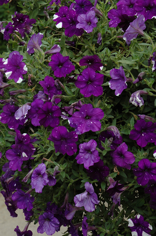Night Sky Petunia (Petunia U0027Night Skyu0027) At Wallitsch Nursery And Garden  Center
