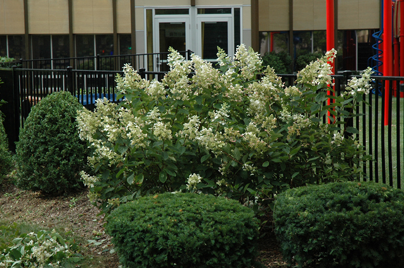 Quick Fire Hydrangea (Hydrangea Paniculata U0027Bulku0027) At Wallitsch Nursery And Garden  Center