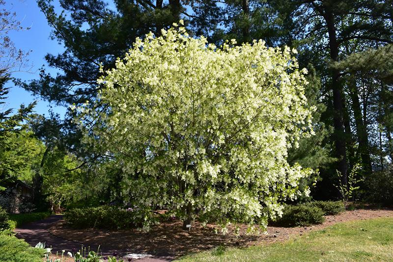 Merveilleux White Fringetree (Chionanthus Virginicus) At Wallitsch Nursery And Garden  Center