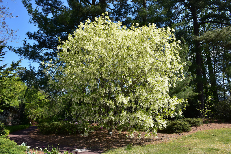 White Fringetree Chionanthus Virginicus In Louisville