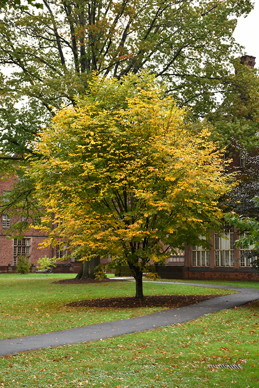 Yellowwood Cladrastis Lutea At Wallitsch Nursery And Garden Center