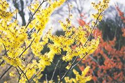 Arnold Promise Witchhazel (Hamamelis x intermedia 'Arnold Promise') at Wallitsch Garden Center