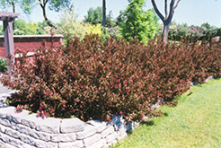 Wine and Roses® Weigela (Weigela florida 'Alexandra') at Wallitsch Nursery And Garden Center