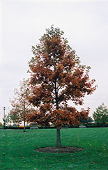 Swamp White Oak (Quercus bicolor) at Wallitsch Nursery And Garden Center