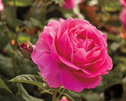 Grande Dame Rose (Rosa 'WEKmerewby') at Wallitsch Garden Center