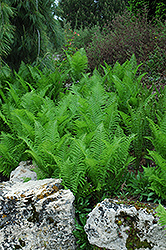 Ostrich Fern (Matteuccia struthiopteris) at Wallitsch Garden Center