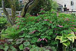 Common Bleeding Heart (Dicentra spectabilis) at Wallitsch Nursery And Garden Center