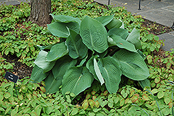 Blue Angel Hosta (Hosta 'Blue Angel') at Wallitsch Nursery And Garden Center