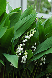 Lily-Of-The-Valley (Convallaria majalis) at Wallitsch Garden Center