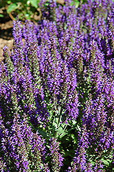 Marcus Sage (Salvia nemorosa 'Marcus') at Wallitsch Nursery And Garden Center