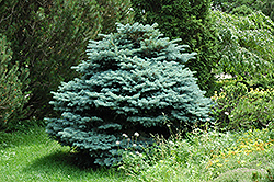Globe Blue Spruce (Picea pungens 'Globosa') at Wallitsch Nursery And Garden Center