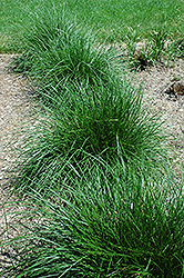 Tufted Hair Grass (Deschampsia cespitosa) at Wallitsch Nursery And Garden Center