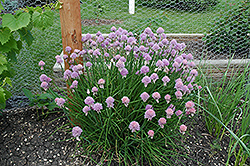 Chives (Allium schoenoprasum) at Wallitsch Garden Center