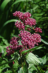 Swamp Milkweed (Asclepias incarnata) at Wallitsch Nursery And Garden Center
