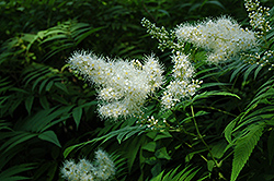 False Spirea (Sorbaria sorbifolia) at Wallitsch Nursery And Garden Center
