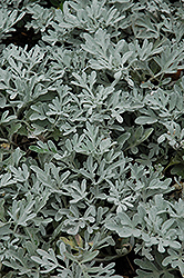 Silver Brocade Artemesia (Artemisia stelleriana 'Silver Brocade') at Wallitsch Garden Center