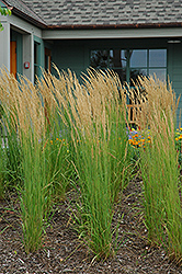 Karl Foerster Reed Grass (Calamagrostis x acutiflora 'Karl Foerster') at Wallitsch Nursery And Garden Center