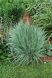 The Blues Bluestem (Schizachyrium scoparium 'The Blues') at Wallitsch Garden Center