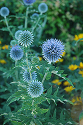 Globe Thistle (Echinops ritro) at Wallitsch Nursery And Garden Center