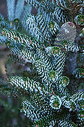 Silver Korean Fir (Abies koreana 'Silberlocke') at Wallitsch Garden Center