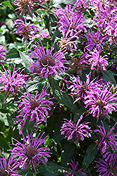 Blue Moon Beebalm (Monarda 'Blue Moon') at Wallitsch Garden Center