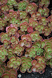 Fuldaglut Stonecrop (Sedum spurium 'Fuldaglut') at Wallitsch Garden Center