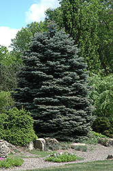 Fat Albert Blue Spruce (Picea pungens 'Fat Albert') at Wallitsch Nursery And Garden Center