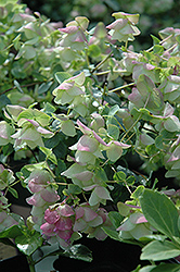 Kent Beauty Oregano (Origanum rotundifolium 'Kent Beauty') at Wallitsch Garden Center